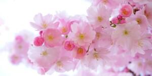 造幣局「桜の通り抜け」が始まってるよ。4月11日〜17日